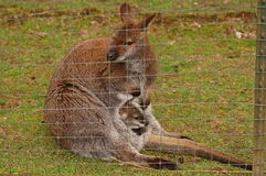 Mother and baby kangaroo. Behind a fence on an exotic animal farm near Arlington, Washington royalty free stock photos