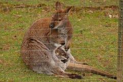 Mother and baby kangaroo Royalty Free Stock Photos