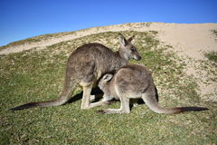 Mother and Baby Kangaroo. Feeding royalty free stock photos