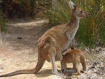 Mother and baby kangaroo. Baby kangaroo with is head in mothers pouch at Lucky Bay in Cape Le Grand National Park Australia royalty free stock photography