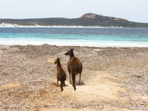 Mother and baby kangaroo. At Lucky Bay beach in Cape Le Grand National Park Australia royalty free stock photography
