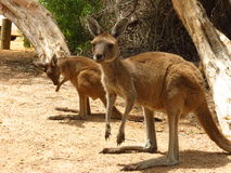 Mother and baby kangaroo. At Lucky Bay in Cape Le Grand National Park Australia Stock Photography