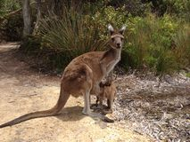 Mother and baby kangaroo. At Lucky Bay in Cape Le Grand National Park Australia royalty free stock image