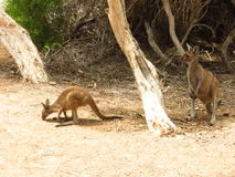 Mother and baby kangaroo. At Lucky Bay in Cape Le Grand National Park Australia royalty free stock photos