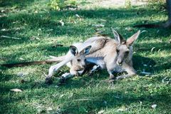 Mother and baby kangaroo lying on the grass. Inside of the mother& x27;s pouch mammal stock photos
