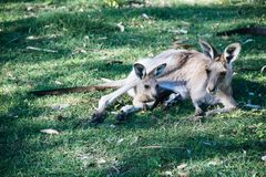 Mother and baby kangaroo lying on the grass. Inside of the mother& x27;s pouch mammal australian grey wild nature wildlife animal marsupial sleep gray family royalty free stock photography