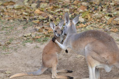 Mother and baby kangaroo 3. A mother and baby red kangaroo snuggle Royalty Free Stock Images