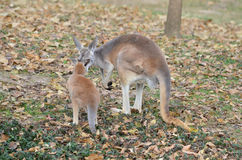 Mother and baby kangaroo 2. A mother and baby red kangaroo snuggle stock image