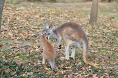 Mother and baby kangaroo. A mother and baby red kangaroo snuggle stock photos