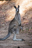 Mother and baby (kangaroos). A photo of mother kangaroo with her baby Royalty Free Stock Photos