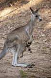 Mother and baby (kangaroos). A photo of mother kangaroo with her baby Stock Photo