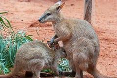 Mother and Baby Kangaroos. Australian iconic animal, brown kangaroo, outback Royalty Free Stock Photography