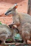 Mother and Baby Kangaroos. Australian iconic animal, brown kangaroo, outback Royalty Free Stock Photos