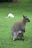 Mother and baby kangaroos. And another albino kangaroo in the background Royalty Free Stock Photo