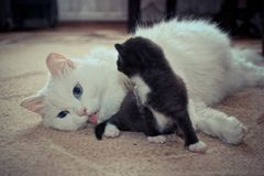 Mother and baby kitten. On the carpet royalty free stock photo