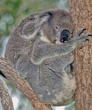 Mother and baby koala Royalty Free Stock Image