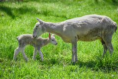 Mother and Baby Lamb Bonding in Pasture. A mother sheep and baby lamb bonding in a pasture  in early spring stock photo