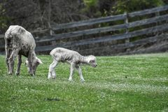 Mother and Baby Lamb Eating in Pasture. A mother sheep and baby lamb eating clover in a pasture with a wooden fence in the background in early spring stock images