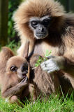 Mother and Baby Lar Gibbon eating. Royalty Free Stock Photos
