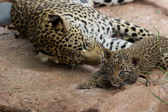 Mother and Baby Leopard Royalty Free Stock Images