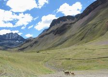 A mother and baby llama walking together alone through the Andes stock images