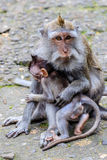 Mother with a baby of Long-tailed or Crab-eating macaque, full length, Bali Island, Indonesia Royalty Free Stock Photography