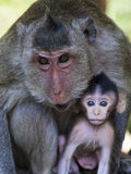 Mother and Baby Long Tailed Macaque at Cambodia's Angkor Wat Royalty Free Stock Photo