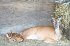 Doe and fawn. Mother and baby lying down Stock Photography