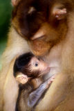 Mother and baby macaque royalty free stock photography