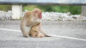 Mother and baby macaque monkey eating food that falls on the ground.  stock video