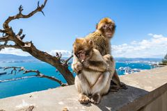 A mother and baby macaque monkey