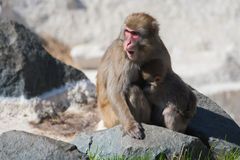 Mother and baby Macaque (Snow) Monkey's in soft focus Royalty Free Stock Photos