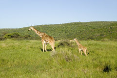 Mother and baby Masai Giraffe in green grass of Lewa Wildlife Conservancy, North Kenya, Africa stock photos