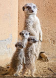 Mother and Baby meerkats Royalty Free Stock Images