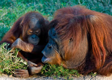 Mother and baby moment of orangutan Royalty Free Stock Image