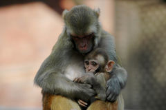 Mother and Baby Monkey Stock Images