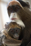 Mother and Baby monkey. A monkey carrying her baby Stock Photos