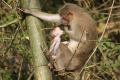 Mother and Baby Monkey Stock Photos