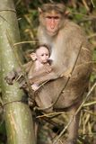 Mother and Baby Monkey 2 Royalty Free Stock Photography