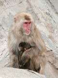 Mother and Baby Monkey. Mother monkey showing her love and to protect hugging her baby stock photo