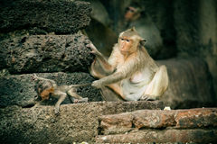 Mother and Baby Monkey. Bear-Faced Monkeys in LopBuri, Thailand stock photos