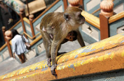 Mother and Baby Monkey Climb Stairs to Batu Caves Stock Photography