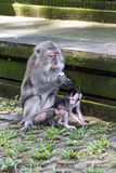 Mother and baby monkey eating Stock Images