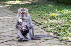 Mother and baby monkey eating Royalty Free Stock Photography