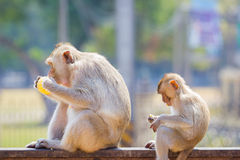 Mother and baby monkey eating fresh corn on a rusty fence, shall Stock Photography