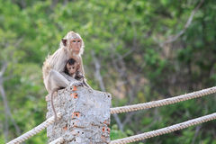 Mother and baby monkey. Royalty Free Stock Image
