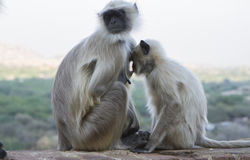 Mother and baby monkey in india Stock Photos