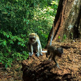 Mother and Baby Monkey. The Long-tailed macaque also known as crab-eating macaque. It is a cercopithecine primate native to Southeast Asia. It is referred to as Royalty Free Stock Photos