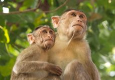 Mother and baby monkey looking in same direction. Animal, small, asian, india, indian, wild, blurred, background, cute, mammal, chimpanzee stock image
