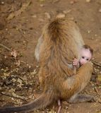 Mother and baby monkey Stock Photography